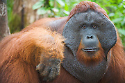 A close-up of a dominant male orangutan (Pongo pygmaeus) face with large flanges,Borneo, Indonesia