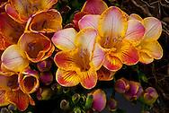 Freesia Flower Closeup
