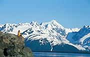 Alaska. Turnagain Arm. Hiker enjoys beautiful scenery of the Turnagain Arm and Chugach Mts. MR.