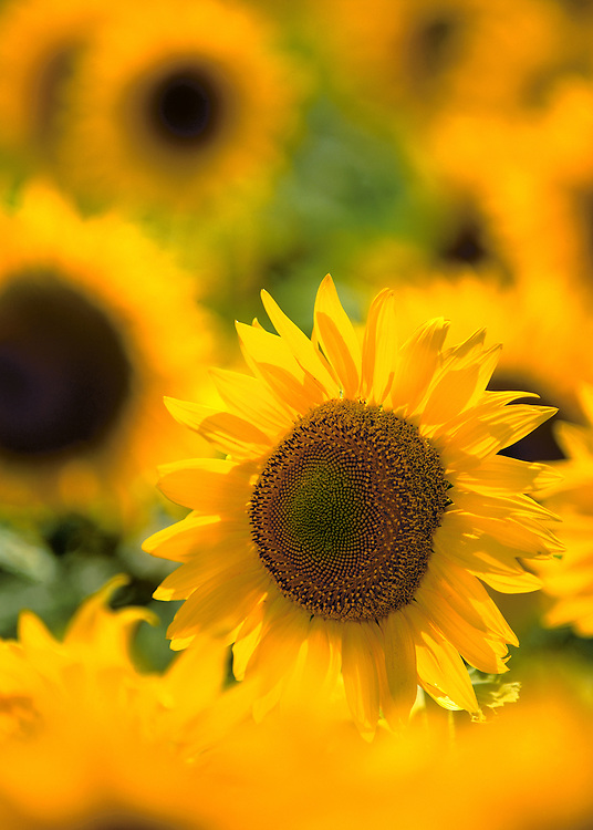 The face of a summer sunflower looks out from a field in Cass County, North Dakota.