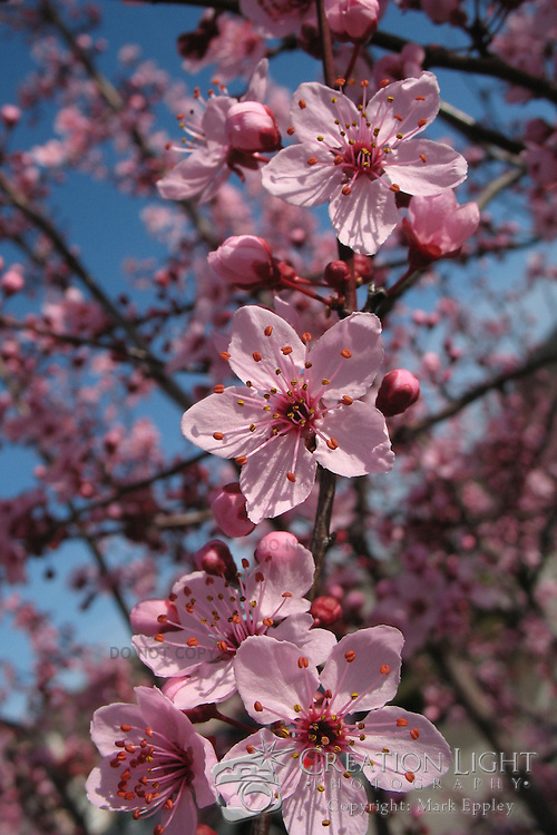 Ornamental cherry trees flower but do not produce cherries.  in the early spring, the buds on the tree bloom and fill nearly the entire tree with flower blossoms that range in color from white to pink depending on the cultivar. The blooms appear before the foliage. Once the blooming season is finished, the leaves will appear.