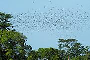 Congo Green Pigeon (Treron calvus calvus)<br /> Lango Bai<br /> Republic of Congo (Congo - Brazzaville)<br /> AFRICA