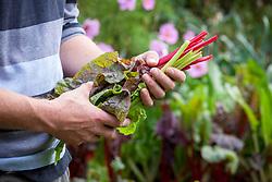 Man holding freshly picked chard. Beta vulgaris