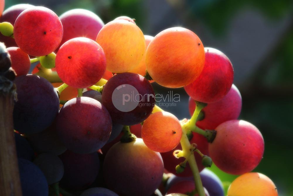 Envero uva tinta. La Rioja ©Daniel Acevedo / PILAR REVILLA