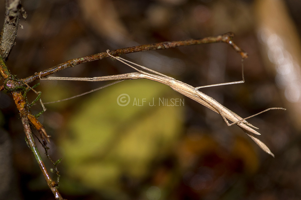 Unidentified stick insect from Ranamofana NP, Madagascar.