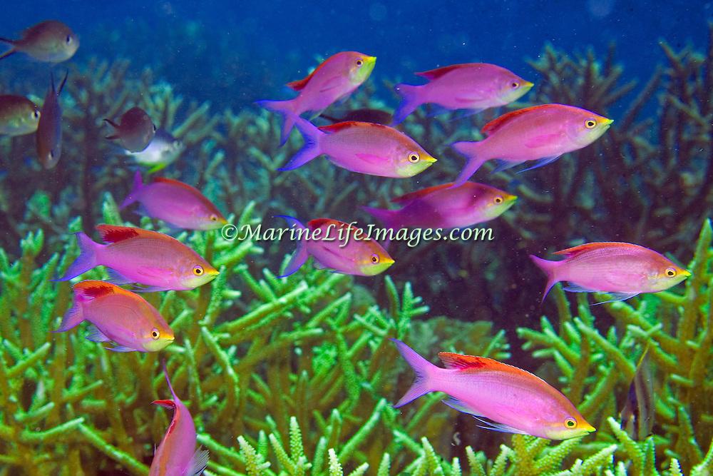 Purple Anthias inhabit reefs. Photographed Raja Ampat, Indonesia.