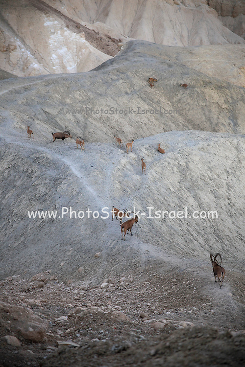 Herd of Nubian Ibex (Capra ibex nubiana AKA Capra nubiana), Sde Boker, Negev Desert, Israel