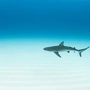 A Caribbean reef shark (Carcharhinus perezi) cruises over a sand flat in The Bahamas.