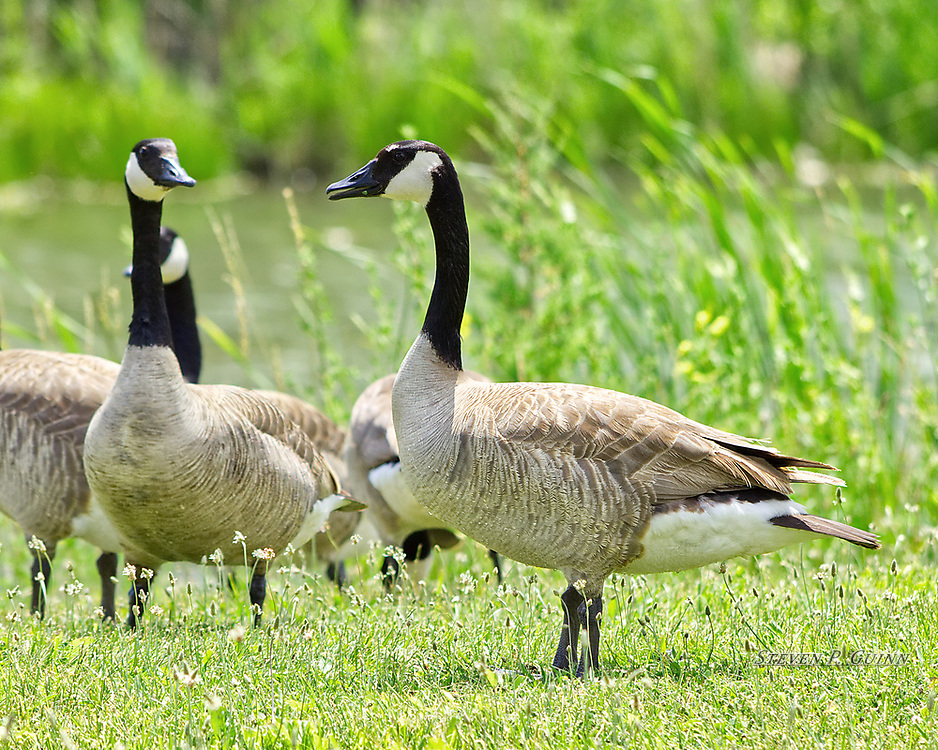 """I captured this image of a group of Canada Geese on June 15th, 2016. While I was in Rensselaer, Indiana, I saw this group of Canada Geese standing around a pond and relaxing in the sun. I wanted to capture the intricate patterns in their feathers, a well as using bokeh (blur) to create a soft, pleasant background with the vegetation and pond behind the geese. Since it looked funny, I also wanted to capture the way the goose in the background was staring at the one in front so intently, as if it were suspicious of something. <br /> <br /> Printed on Hahnemühle German Etching paper. Limited to 300 productions per size.<br /> <br /> Framed prints are available in 20"""" x 16"""" and 30"""" x 24"""" sizes."""
