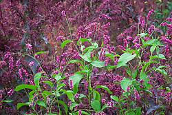 Persicaria orientalis with Atriplex hortensis