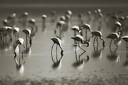 A flock of lesser flamingos feed on algae at Lake Nakuru, Kenya