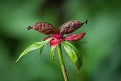 Seedhead of Paeonia 'Late Windflower'. Peony