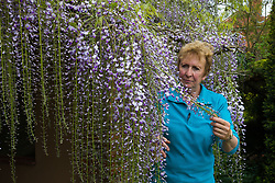 No longer open to the public, the spectacular gardens renowned for their wisteria are the work of dedicated gardener Judith Wilson, pictured, who has tended her wisteria and encouraged its growth for over thirty years.May 13 2018.