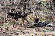 African wild dogs (Lycano pictus) from Kruger NP, South Africa.