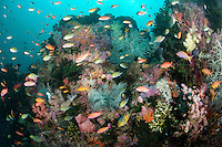 Pastel Shades Abound in this Soft Coral Covered Reef, with Anthias and Damselfish..Shot in Indonesia..