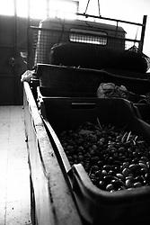 Acquaviva delle Fonti 30/10/2010, treruote carico di olive all'interno di un magazzino....La raccolta delle olive e la produzione dell'olio extravergine sono un rituale che si protrae da moltissimo tempo in Puglia, questo avviene solitamente nel periodo che va da novembre a dicembre, mentre il lavoro di preparazione e coltivazione si svolge lungo tutto l'arco dell'anno..La raccolta è seguita nella maggior parte dei casi, quando le olive non vengono vendute all'ingrosso, dalla molitura presso gli oleifici per la produzione di quello che da queste parti viene chiamato anche oro verde..