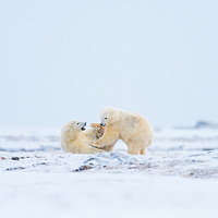 These Polar Bear Cubs are playing near the Beaufort Sea on the North Slope of Alaska near Kaktovik.