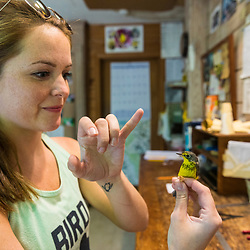 A woman holds a recently captured Canada warbler at the Manomet Banding Lab in Manomet, Massachusetts.