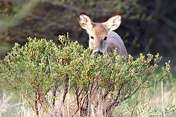 09 April 2005:   White tailed deer