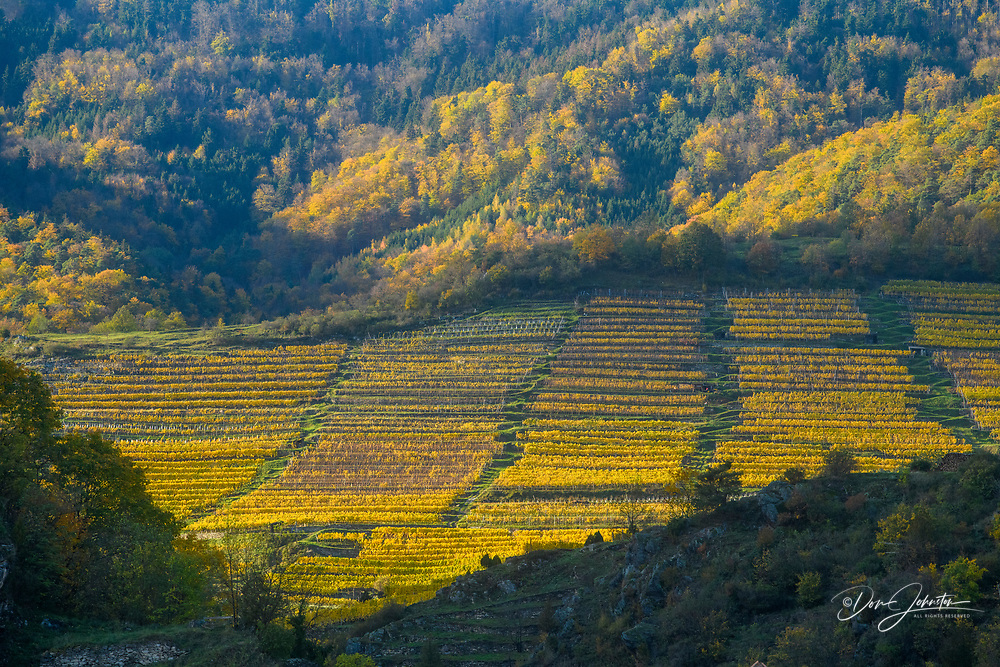 Autumn in the Wachau Valley- vineyards on a hillside, Wachau Valley, Spitz, Lower Austria, Austria