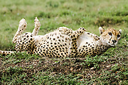 Playful Cheetah rolling in the grass, the Ngorongoro Conservation Area or NCA is a conservation area situated 180 km west of Arusha in the Crater Highlands area of Tanzania.