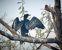 Little Cormorant. Bharatpur-- Keoladeo Ghana National Park, Rajasthan, India. Image taken with a Nikon 1 V3 camera and 70-300 mm VR lens.
