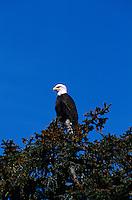 Bald Eagle, Prince William Sound, near Valdez, Alaska