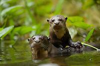 Giant River Otters (Pteronura brasiliensis) in Anangu creek, Yasuni National Park, Orellana Province, Ecuador