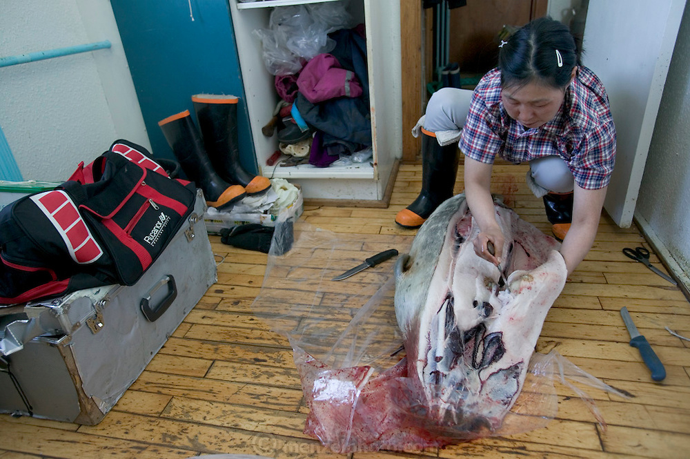 (MODEL RELEASED IMAGE). Erika Madsen, cleaning the seal her son Abraham and nephew Julian left in the hall, will cook the best meat for her family, feed the remains to the sled dogs, then dry and sell the sealskin. Hungry Planet: What the World Eats (p. 153). The Madsen family of Cap Hope village, Greenland is one of the thirty families featured, with a weeks' worth of food, in the book Hungry Planet: What the World Eats.