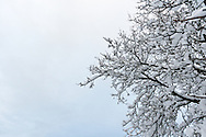 The branches of a Walnut Tree are covered in snow after a snow storm in the Fraser Valley of British Columbia, Canada