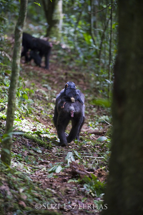 Chimpanzee <br /> Pan troglodytes<br /> One year old infant riding on mother's back on forest trail<br /> Tropical forest, Western Uganda