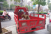 LOUDI, CHINA -  (CHINA OUT) <br /> <br /> Dog is found in Car Grill, but only after driver had driven 240 miles first<br /> <br /> The image was taken with mobile phone.  A dog that got stuck in a car and survived the accident sits in a cage in Loudi, Hunan Province of China. A dog was hit by a car running at full speed when it crossed an expressway in Central China's Hunan province, The driver, who assumed the dog must have been killed in the accident, unexpectedly found it somehow got stuck in the slot under the bumper and had not sustained any serious injury. The man went on driving for 400 kilometers and during the journey kept checking on the dog's condition. When they reached a veterinarian, the vet confirmed that the dog only suffered a slight injury, and the car owner, surnamed Zhang, decided to adopt the dog into his family. <br /> ©Exclusivepix Media