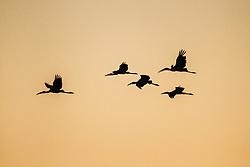 White ibis in flight at sunset, Lemon Lake, Great Trinity Forest near Trinity River, Dallas, Texas, USA.