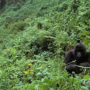 Mountain Gorilla, (Gorilla gorilla beringei) Female feeding. Volcanoes National Park. Rwanda. Africa. .