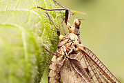 Mayfly (Ephemera sp.) on nettle. Surrey, UK.