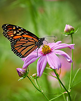 Monarch Butterfly on a Cosmos Flower. Image taken with a Nikon D850 camera and 200-500 mm f/5.6 VR lens (ISO 320, 500 mm, f/5.6, 1/1000 sec).