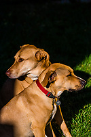 Two dogs, a Rhodesian Ridgeback/lab mix and a Lab/border collie mix, Littleton, Colorado USA.