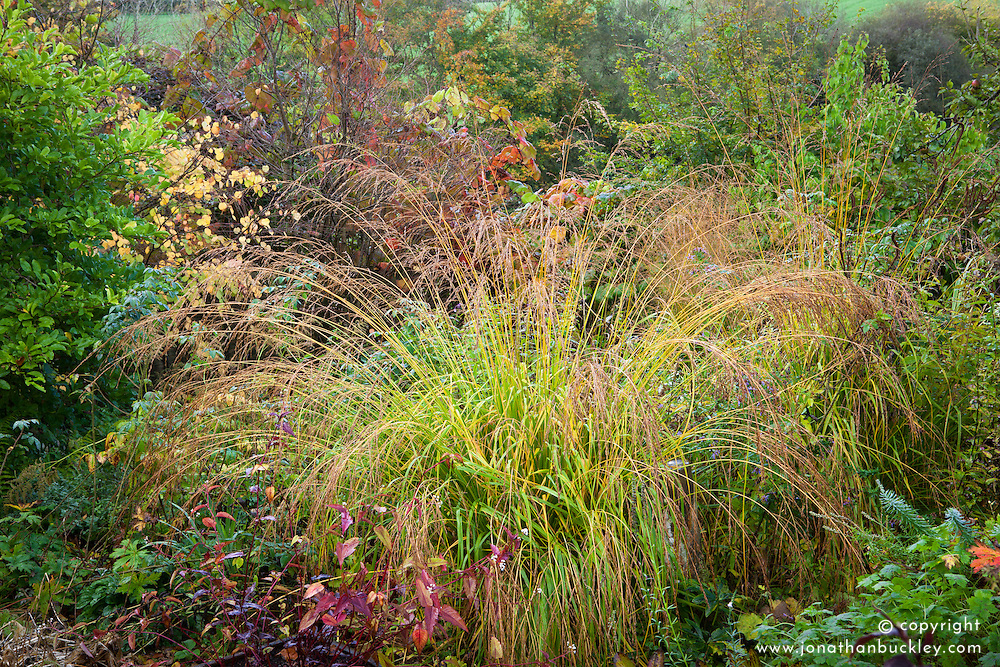 Self sown Molinia in a border at Glebe Cottage in autumn