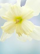 Narcissus - split corona seedling - daffodil