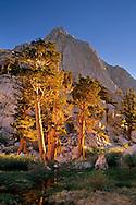 Whitebark Pine trees (Pinus albicaulis) Inyo National Forest, Eastern Sierra, California