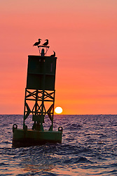 silhouette of brown boobies, Sula leucogaster, resting on navigational buoy aka green can at sunset, Kona Coast, Big Island, Hawaii, USA, Pacific Ocean