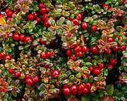 Lingonberry and lowbush cranberry, Vaccinium vitis-idaea, fruiting on glacial moraine above Round Tangle Lake, Alaska.