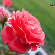 Rose's growing in a very special garden, dear to my heart.
