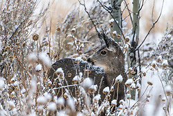A faun's first winter.   The wildlife of the Idaho Mountains.  If it's cold, bring them inside.
