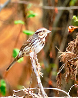 Song Sparrow (Melospiza melodia). Image taken with a Fuji X-H1 camera and 200 mm f/2 lens + 1.4x teleconverter.
