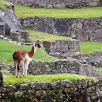 Americas, South America, Peru, Machu PIcchu. Llamas at Machu Picchu, a UNESCO World Heritage Site.