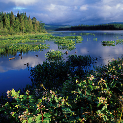 Androscoggin River, Pontook Reservoir.  Pickerel weed.  Northern Forest.  Summer.  NH 16.  Dummer, NH