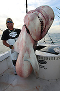Hugh Tiger shark caught off coast of Miami<br /> <br /> A hugh tiger Shark weighing over 1000lbs (71 stone) was caught 3 miles off Miami Beach Swimming Area by Mark the Shark, who is licensed Shark fisherman by the state of Miami, Tiger sharks and hummerhead sharks are protected upto 3 miles in state waters  can be caught but are all tagged released, sharks outside 3 miles in federal waters can be harvested for scientific purpose, research and even food for restaurants, these Tiger sharks are number 3 of the most dangerous in the world and will attack humans they have a very short temper.<br /> <br /> Photo shows: Shark Fisherman Mark the shark with the Tiger Shark caught in Federal waters<br /> <br /> The shark was over 12ft in length and took over 3 hours to land.<br /> found in the stomach was<br /> <br /> 2 sea turtles<br /> 1 seagull<br /> 4 lionfsh<br /> 2 stingrays<br /> 1 white boot size 11<br /> and Reef fish<br /> ©Exclusivepix Media