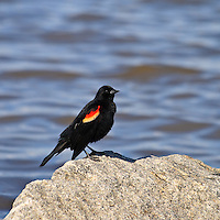 An adult male red-winged blackbird perches on a rock after foraging for horseshoe crab eggs along the shore of the Delaware Bay, Port Mahon, Delaware.