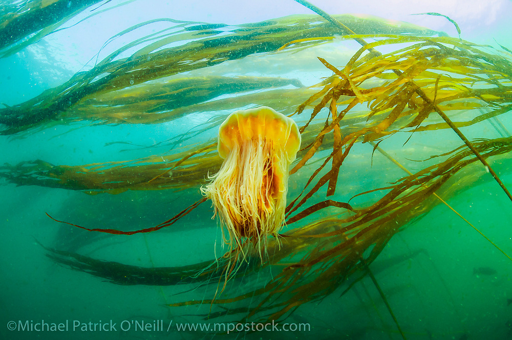 A Lion's Mane Jellyfish, Cyanea capillata, ascends in the strong currents found in the northern tip of Vancouver Island, British Columbia, Canada.
